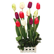 Long Lasting � Colourful Tulips