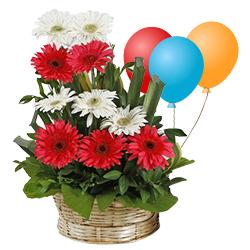 Bright Mixed Gerberas Arrangement with Balloons